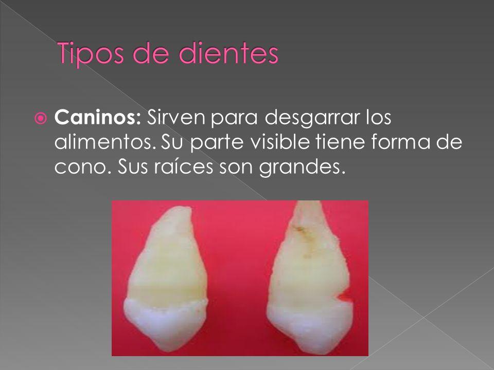 Premolares: Su función es la de desgarrar y triturar los alimentos.