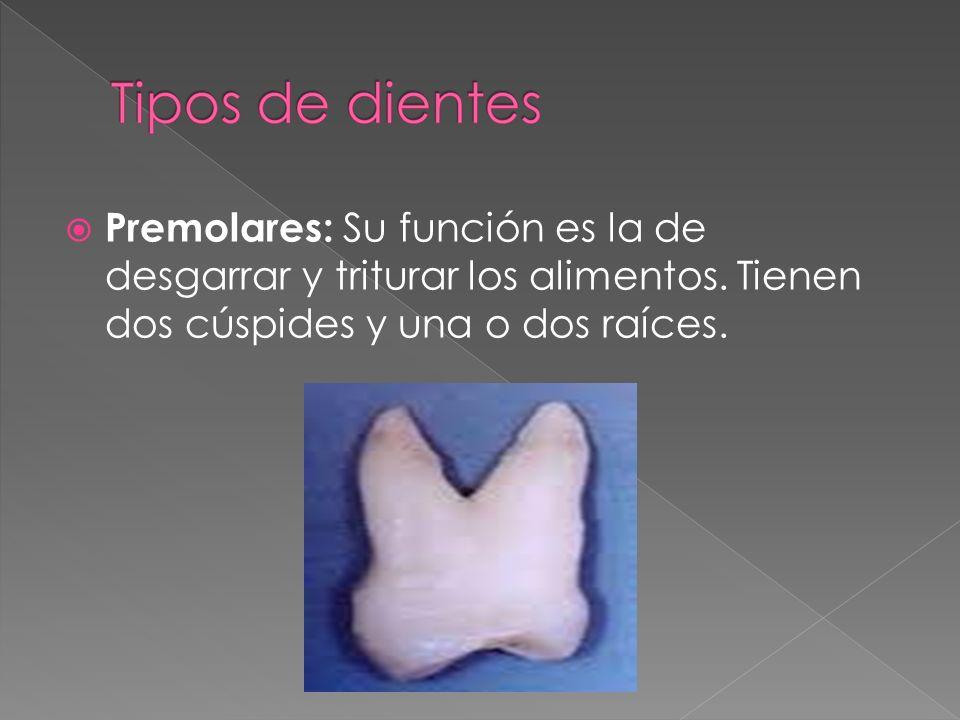 Premolares: Su función es la de desgarrar y triturar los alimentos. Tienen dos cúspides y una o dos raíces.