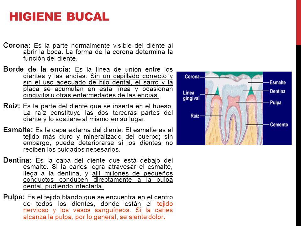 Corona: Es la parte normalmente visible del diente al abrir la boca. La forma de la corona determina la función del diente. Borde de la encía: Es la l