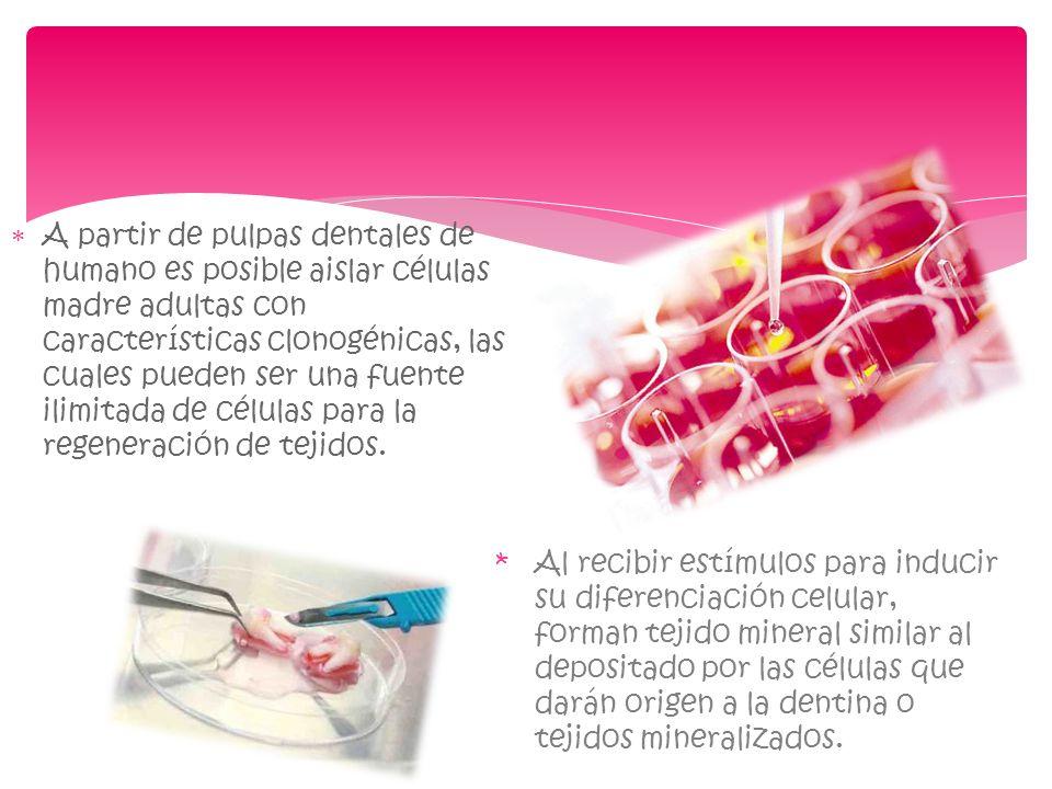 A partir de pulpas dentales de humano es posible aislar células madre adultas con características clonogénicas, las cuales pueden ser una fuente ilimi