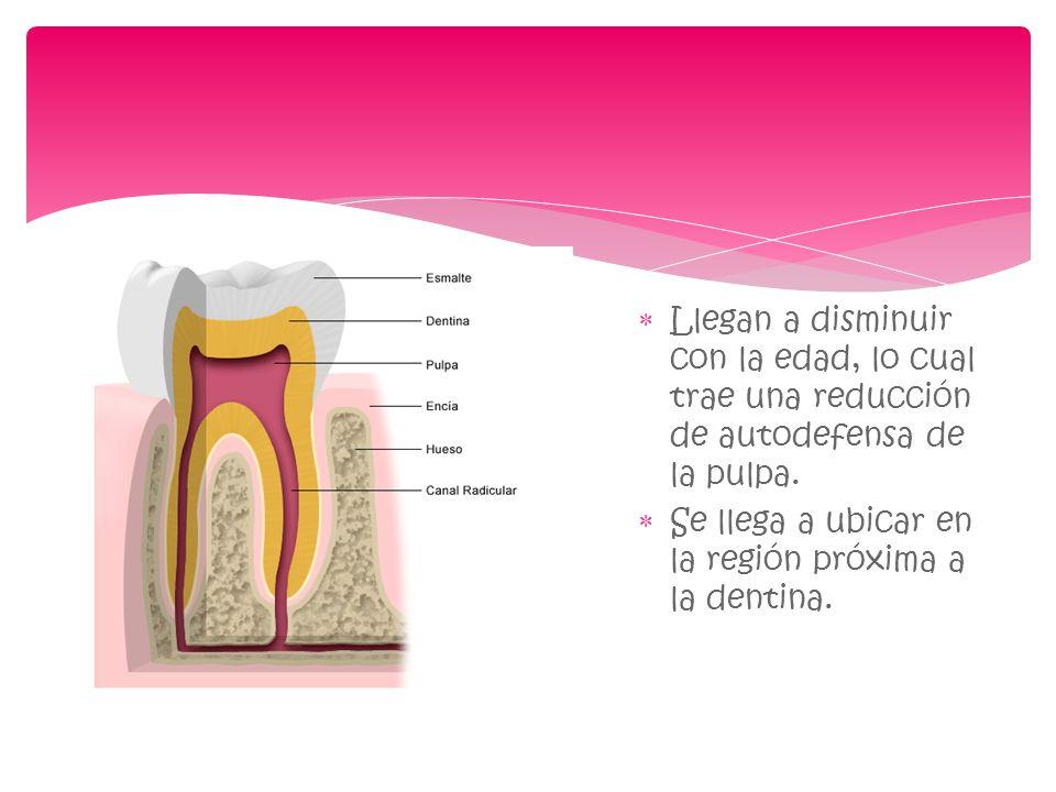 Llegan a disminuir con la edad, lo cual trae una reducción de autodefensa de la pulpa. Se llega a ubicar en la región próxima a la dentina.