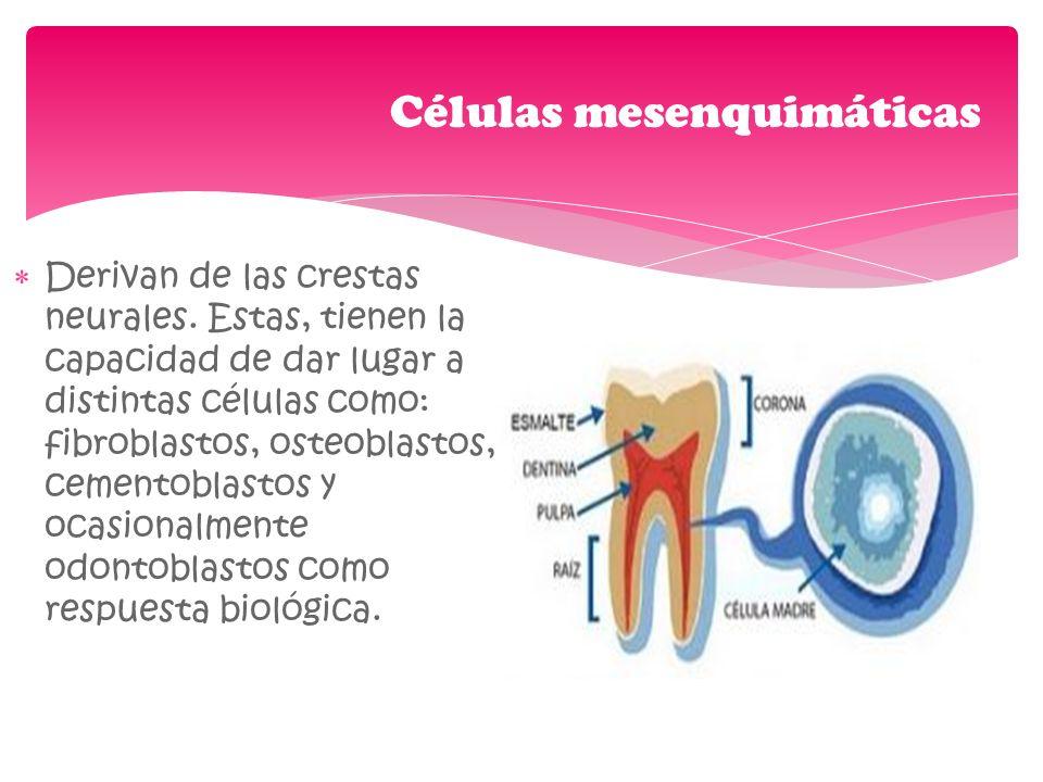 Derivan de las crestas neurales. Estas, tienen la capacidad de dar lugar a distintas células como: fibroblastos, osteoblastos, cementoblastos y ocasio