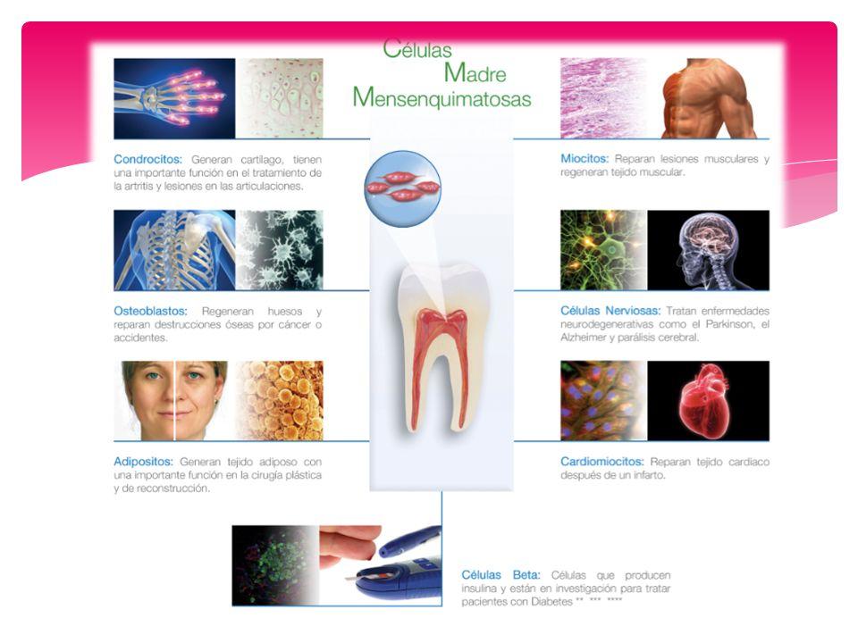 Pueden formar estructuras que parecen complejos pulpa-dentina y ligamento periodontal- cemento radicular.