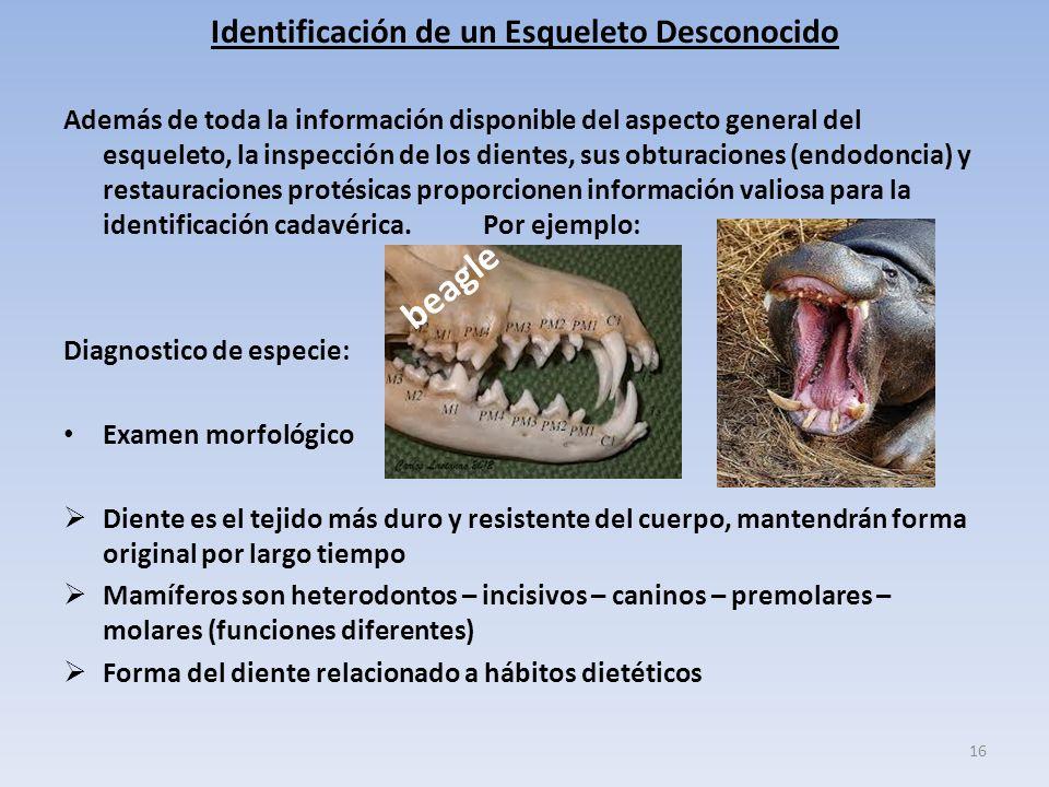 Identificación de un Esqueleto Desconocido Además de toda la información disponible del aspecto general del esqueleto, la inspección de los dientes, sus obturaciones (endodoncia) y restauraciones protésicas proporcionen información valiosa para la identificación cadavérica.