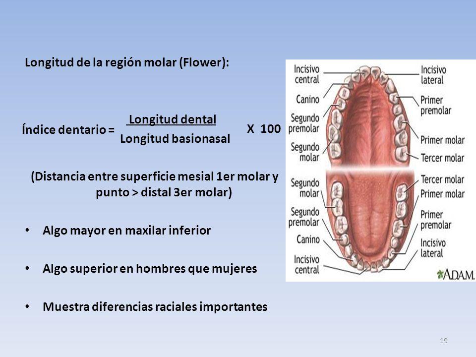 Longitud de la región molar (Flower): Longitud dental Longitud basionasal (Distancia entre superficie mesial 1er molar y punto > distal 3er molar) Algo mayor en maxilar inferior Algo superior en hombres que mujeres Muestra diferencias raciales importantes Índice dentario = X 100 19