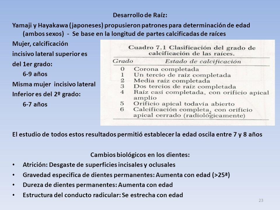 Desarrollo de Raíz: Yamaji y Hayakawa (japoneses) propusieron patrones para determinación de edad (ambos sexos) - Se base en la longitud de partes calcificadas de raíces Mujer, calcificación incisivo lateral superior es del 1er grado: 6-9 años Misma mujer incisivo lateral Inferior es del 2º grado: 6-7 años El estudio de todos estos resultados permitió establecer la edad oscila entre 7 y 8 años Cambios biológicos en los dientes: Atrición: Desgaste de superficies incisales y oclusales Gravedad especifica de dientes permanentes: Aumenta con edad (>25ª) Dureza de dientes permanentes: Aumenta con edad Estructura del conducto radicular: Se estrecha con edad 23