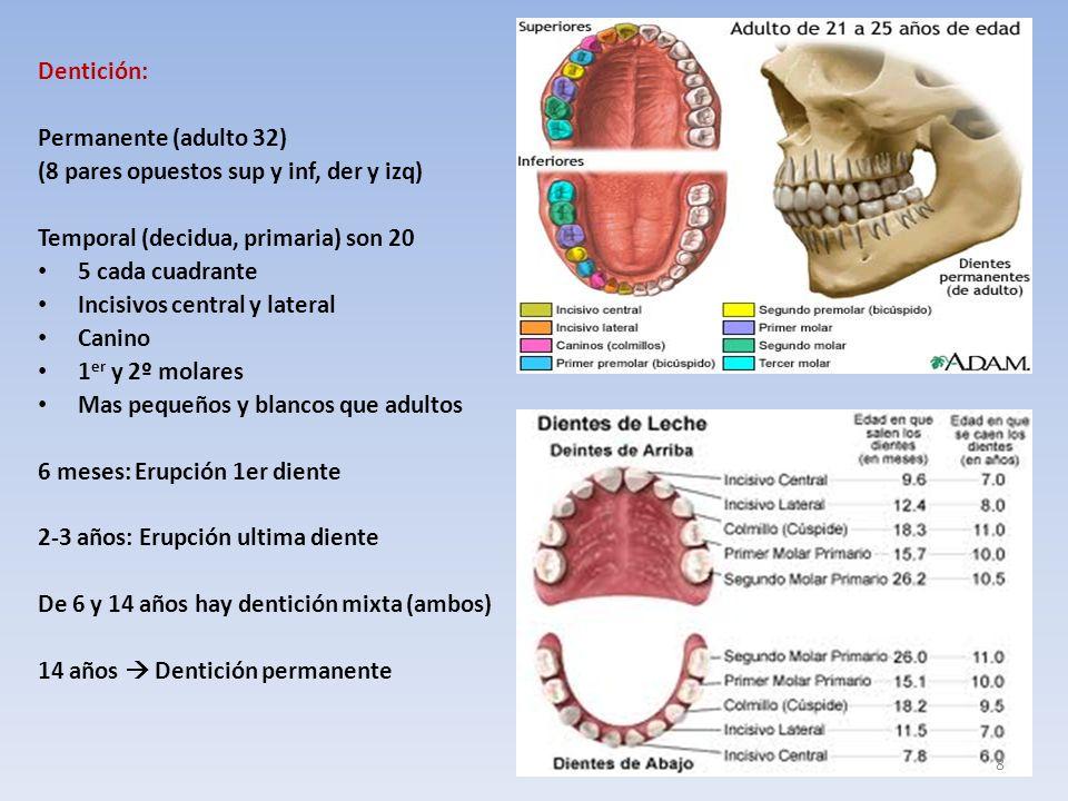 Dentición: Permanente (adulto 32) (8 pares opuestos sup y inf, der y izq) Temporal (decidua, primaria) son 20 5 cada cuadrante Incisivos central y lateral Canino 1 er y 2º molares Mas pequeños y blancos que adultos 6 meses: Erupción 1er diente 2-3 años: Erupción ultima diente De 6 y 14 años hay dentición mixta (ambos) 14 años Dentición permanente 8