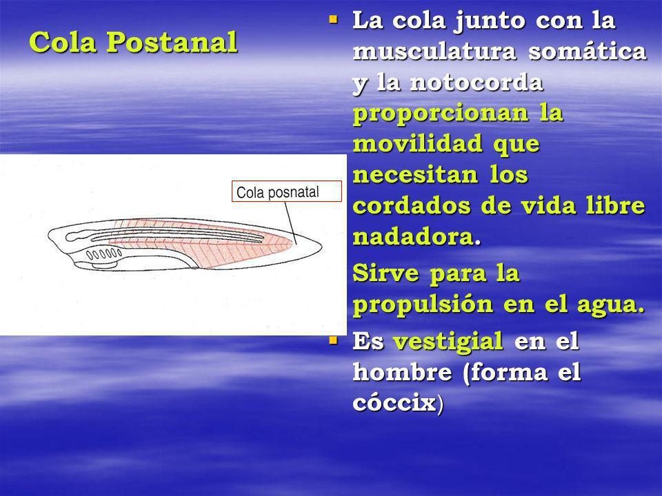 Cola Postanal La cola junto con la musculatura somática y la notocorda proporcionan la movilidad que necesitan los cordados de vida libre nadadora. La