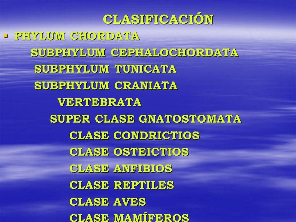 CLASIFICACIÓN PHYLUM CHORDATA PHYLUM CHORDATA SUBPHYLUM CEPHALOCHORDATA SUBPHYLUM CEPHALOCHORDATA SUBPHYLUM TUNICATA SUBPHYLUM TUNICATA SUBPHYLUM CRAN