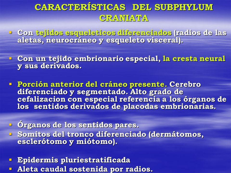 CARACTERÍSTICAS DEL SUBPHYLUM CRANIATA Con tejidos esqueleticos diferenciados (radios de las aletas, neurocráneo y esqueleto visceral). Con tejidos es