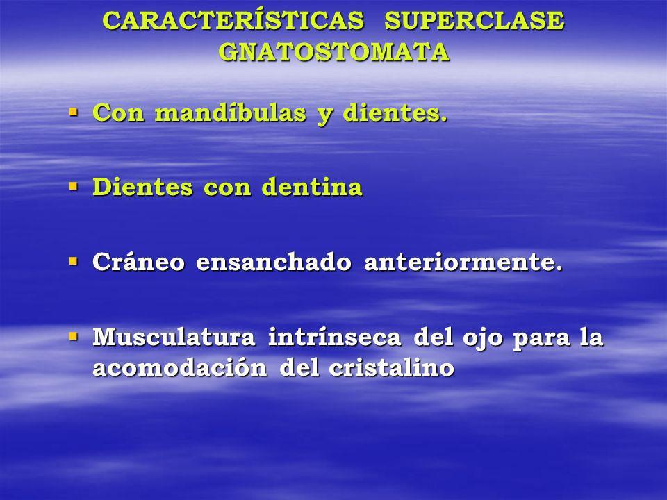 CARACTERÍSTICAS SUPERCLASE GNATOSTOMATA Con mandíbulas y dientes. Con mandíbulas y dientes. Dientes con dentina Dientes con dentina Cráneo ensanchado