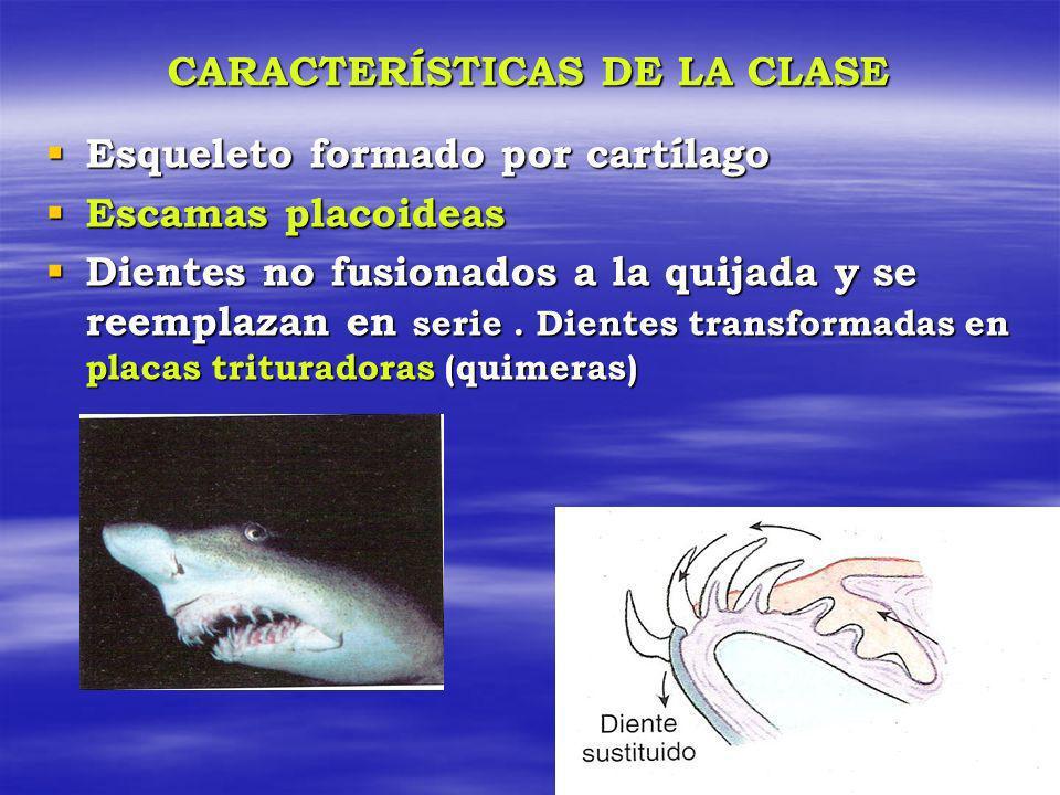 CARACTERÍSTICAS DE LA CLASE Esqueleto formado por cartílago Esqueleto formado por cartílago Escamas placoideas Escamas placoideas Dientes no fusionado
