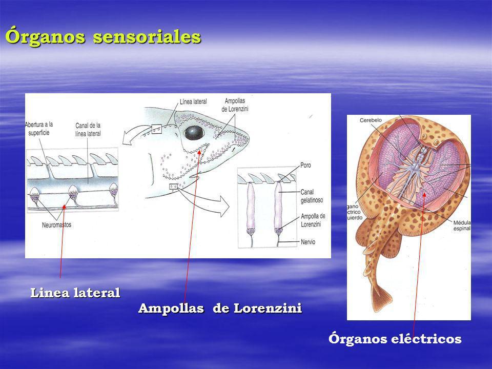 Órganos sensoriales Linea lateral Ampollas de Lorenzini Órganos eléctricos