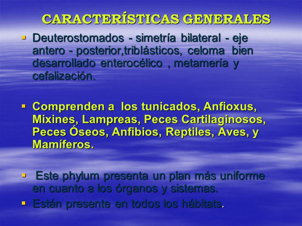 CARACTERÍSTICAS GENERALES Deuterostomados - simetría bilateral - eje antero - posterior,triblásticos, celoma bien desarrollado enterocélico, metamería