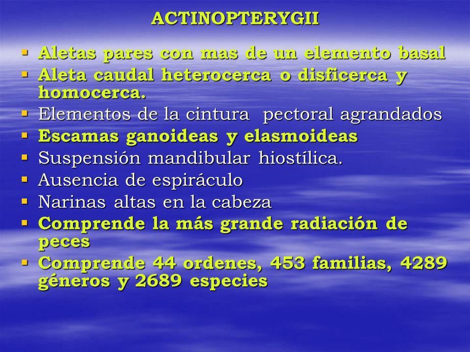 ACTINOPTERYGII Aletas pares con mas de un elemento basal Aletas pares con mas de un elemento basal Aleta caudal heterocerca o disficerca y homocerca.