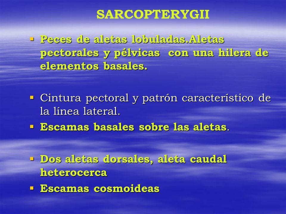 SARCOPTERYGII Peces de aletas lobuladas.Aletas pectorales y pélvicas con una hilera de elementos basales. Peces de aletas lobuladas.Aletas pectorales