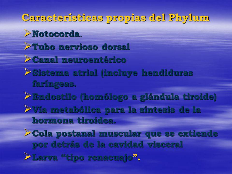Características propias del Phylum Notocorda. Notocorda. Tubo nervioso dorsal Tubo nervioso dorsal Canal neuroentérico Canal neuroentérico Sistema atr