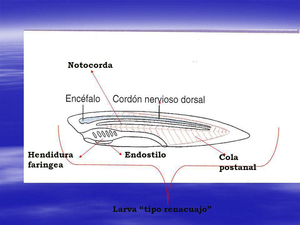 Notocorda Cola postanal EndostiloHendidura faringea Larva tipo renacuajo