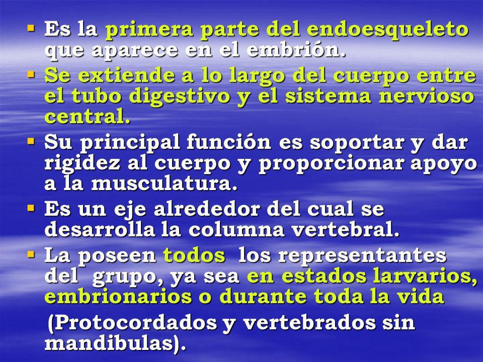 Es la primera parte del endoesqueleto que aparece en el embrión. Es la primera parte del endoesqueleto que aparece en el embrión. Se extiende a lo lar