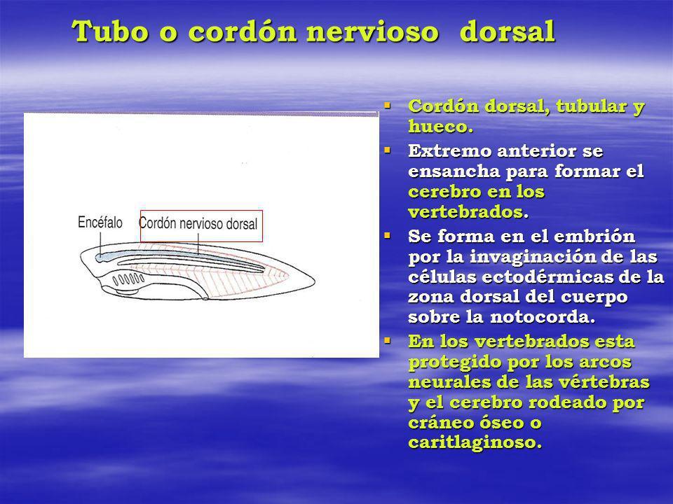 Tubo o cordón nervioso dorsal Cordón dorsal, tubular y hueco. Cordón dorsal, tubular y hueco. Extremo anterior se ensancha para formar el cerebro en l