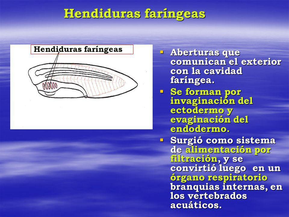 Hendiduras faríngeas Aberturas que comunican el exterior con la cavidad faríngea. Aberturas que comunican el exterior con la cavidad faríngea. Se form