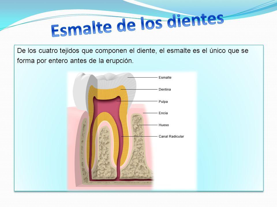 De los cuatro tejidos que componen el diente, el esmalte es el único que se forma por entero antes de la erupción. De los cuatro tejidos que componen