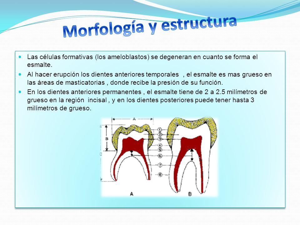 Las células formativas (los ameloblastos) se degeneran en cuanto se forma el esmalte. Al hacer erupción los dientes anteriores temporales, el esmalte
