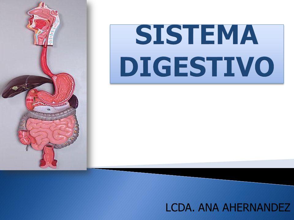 El sistema digestivo -Tubo largo de 14 a 18 m de Long.