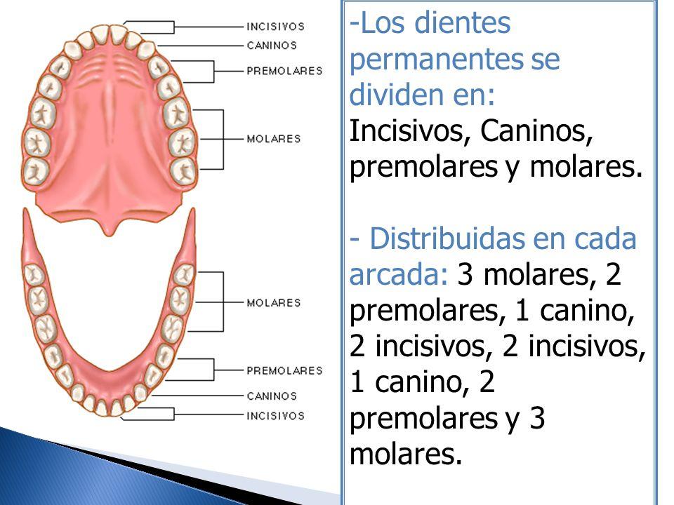 -Los dientes permanentes se dividen en: Incisivos, Caninos, premolares y molares. - Distribuidas en cada arcada: 3 molares, 2 premolares, 1 canino, 2