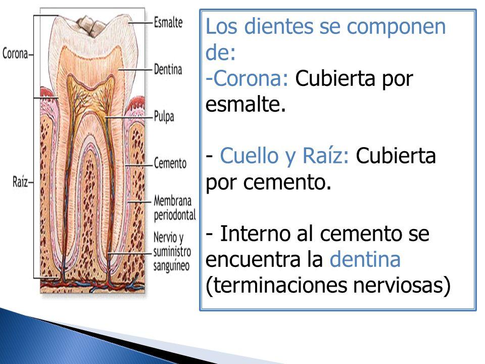 Los dientes se componen de: -Corona: Cubierta por esmalte. - Cuello y Raíz: Cubierta por cemento. - Interno al cemento se encuentra la dentina (termin