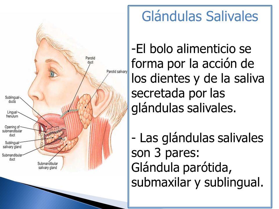 Glándulas Salivales -El bolo alimenticio se forma por la acción de los dientes y de la saliva secretada por las glándulas salivales. - Las glándulas s