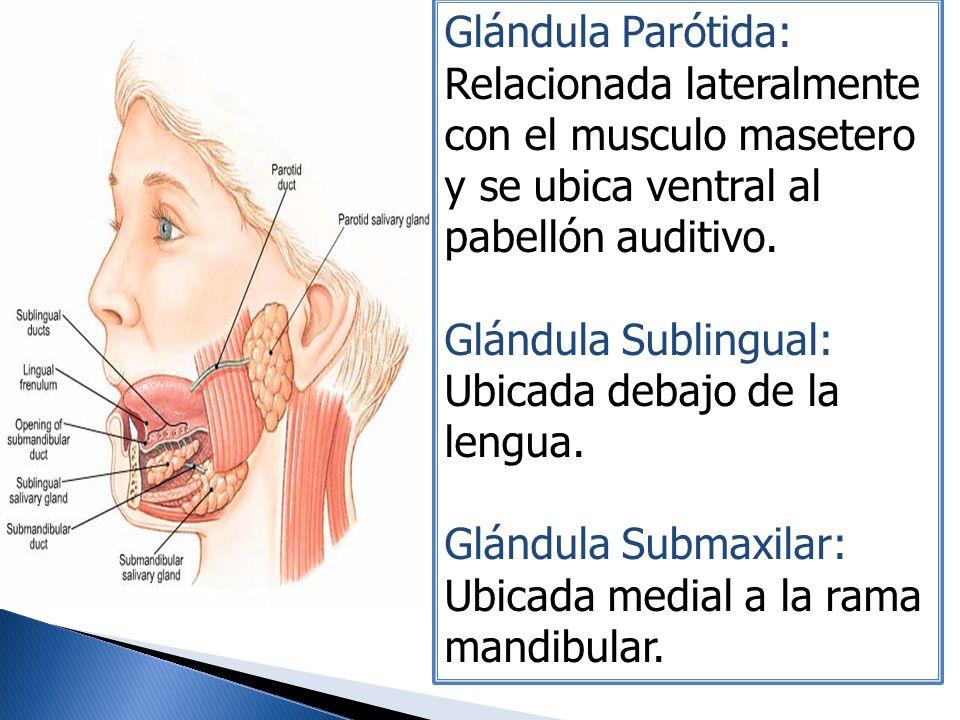 Glándula Parótida: Relacionada lateralmente con el musculo masetero y se ubica ventral al pabellón auditivo. Glándula Sublingual: Ubicada debajo de la