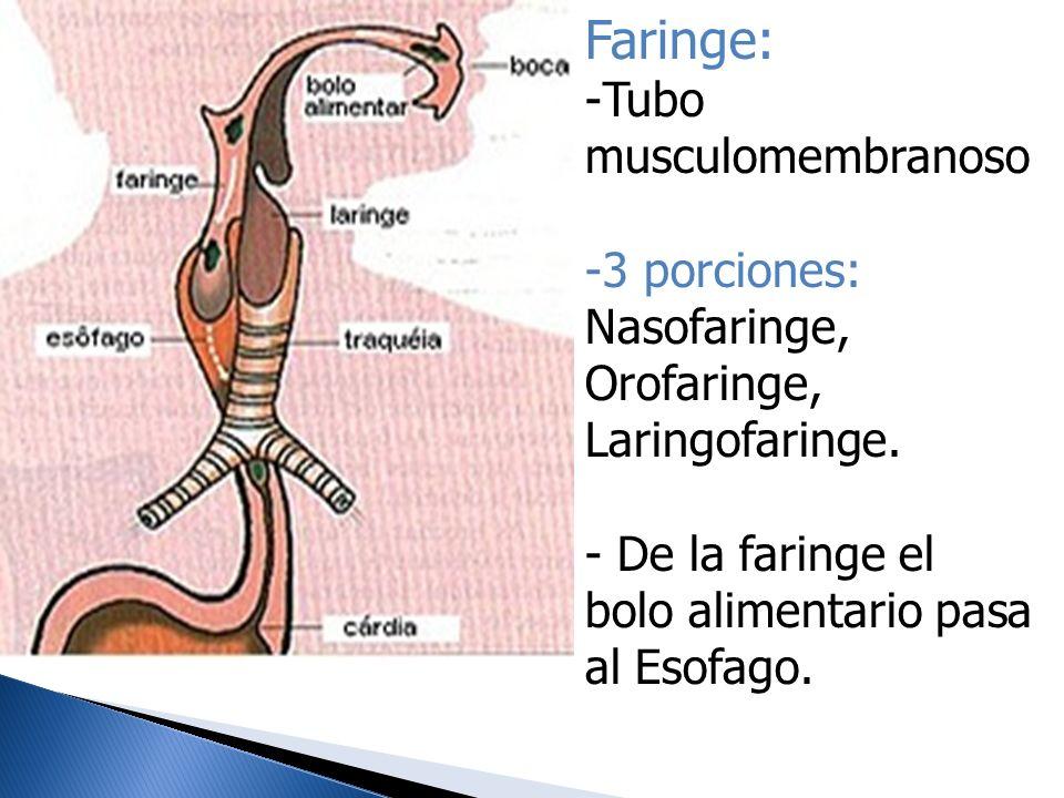 Faringe: -Tubo musculomembranoso -3 porciones: Nasofaringe, Orofaringe, Laringofaringe. - De la faringe el bolo alimentario pasa al Esofago.