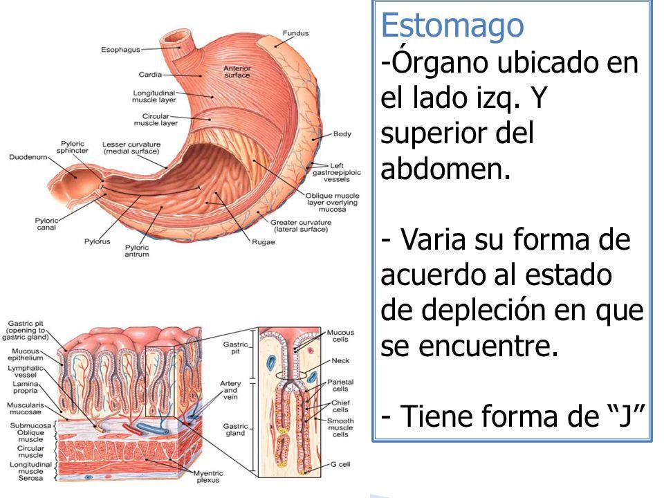Estomago -Órgano ubicado en el lado izq. Y superior del abdomen. - Varia su forma de acuerdo al estado de depleción en que se encuentre. - Tiene forma