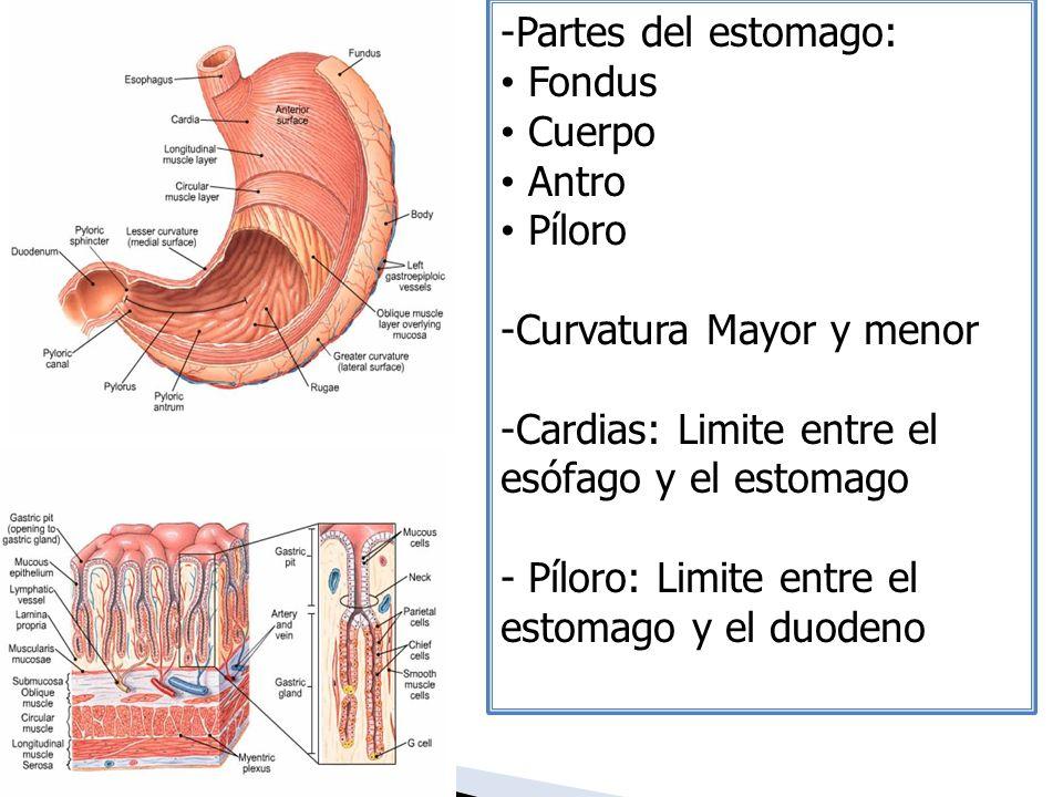 -Partes del estomago: Fondus Cuerpo Antro Píloro -Curvatura Mayor y menor -Cardias: Limite entre el esófago y el estomago - Píloro: Limite entre el es