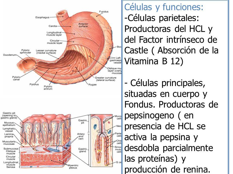 Células y funciones: -Células parietales: Productoras del HCL y del Factor intrínseco de Castle ( Absorción de la Vitamina B 12) - Células principales