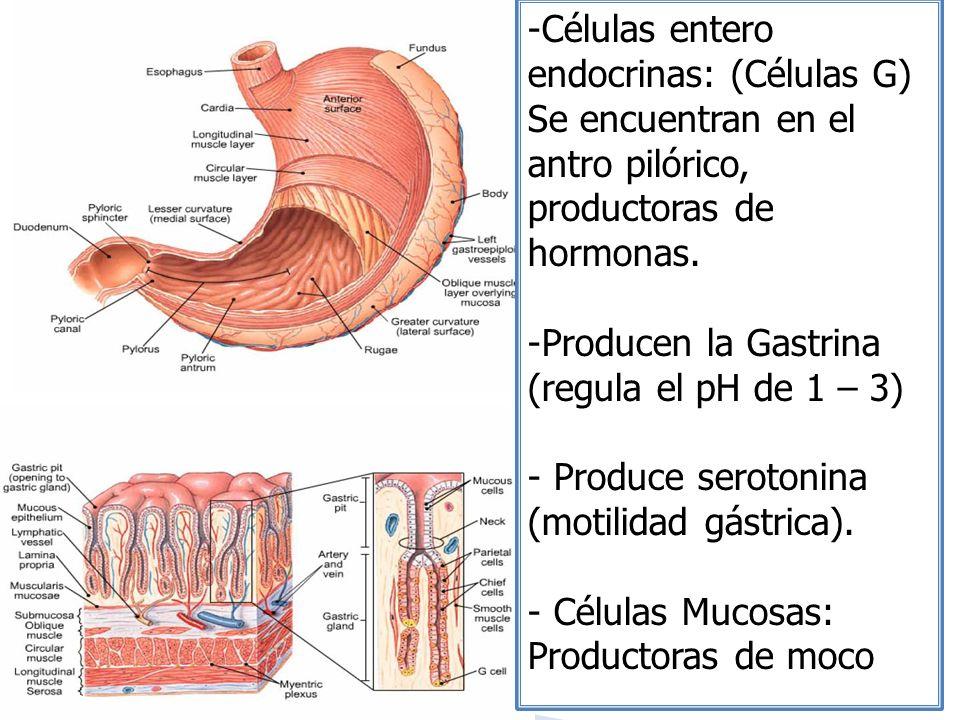 -Células entero endocrinas: (Células G) Se encuentran en el antro pilórico, productoras de hormonas. -Producen la Gastrina (regula el pH de 1 – 3) - P
