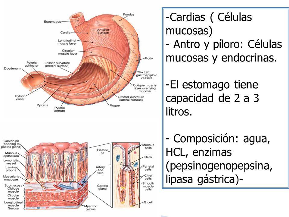 -Cardias ( Células mucosas) - Antro y píloro: Células mucosas y endocrinas. -El estomago tiene capacidad de 2 a 3 litros. - Composición: agua, HCL, en