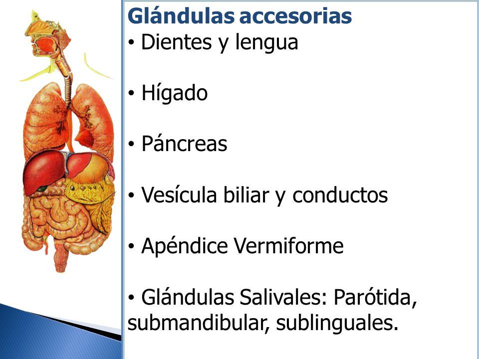 Glándulas accesorias Dientes y lengua Hígado Páncreas Vesícula biliar y conductos Apéndice Vermiforme Glándulas Salivales: Parótida, submandibular, su