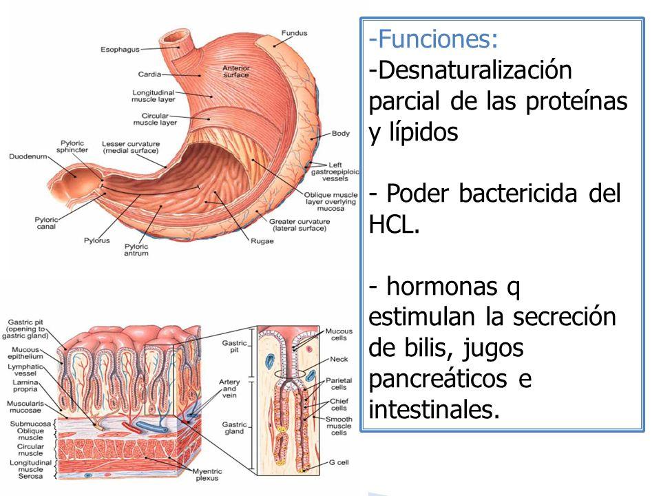 -Funciones: -Desnaturalización parcial de las proteínas y lípidos - Poder bactericida del HCL. - hormonas q estimulan la secreción de bilis, jugos pan