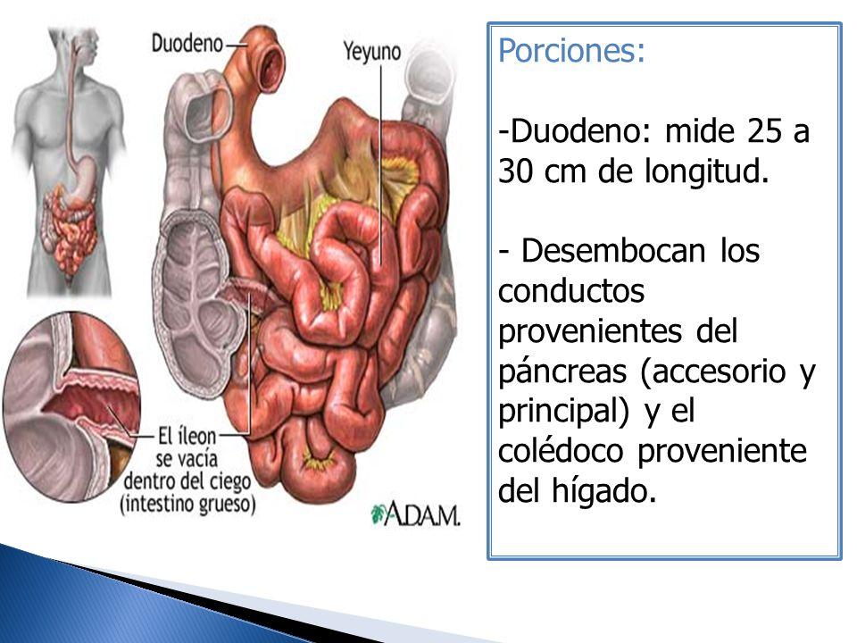 Porciones: -Duodeno: mide 25 a 30 cm de longitud. - Desembocan los conductos provenientes del páncreas (accesorio y principal) y el colédoco provenien