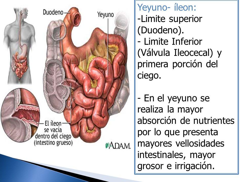Yeyuno- íleon: -Limite superior (Duodeno). - Limite Inferior (Válvula Ileocecal) y primera porción del ciego. - En el yeyuno se realiza la mayor absor