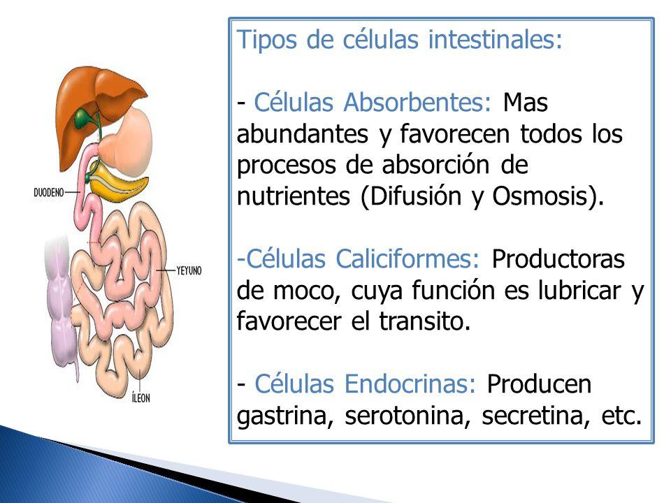 Tipos de células intestinales: - Células Absorbentes: Mas abundantes y favorecen todos los procesos de absorción de nutrientes (Difusión y Osmosis). -