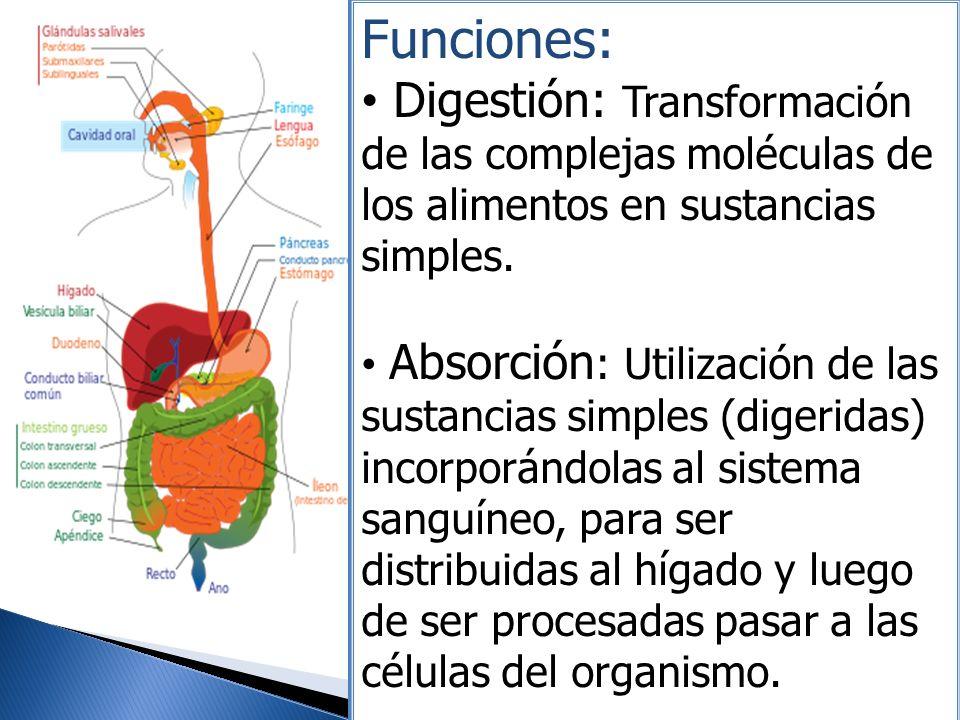 Funciones: Digestión: Transformación de las complejas moléculas de los alimentos en sustancias simples. Absorción : Utilización de las sustancias simp