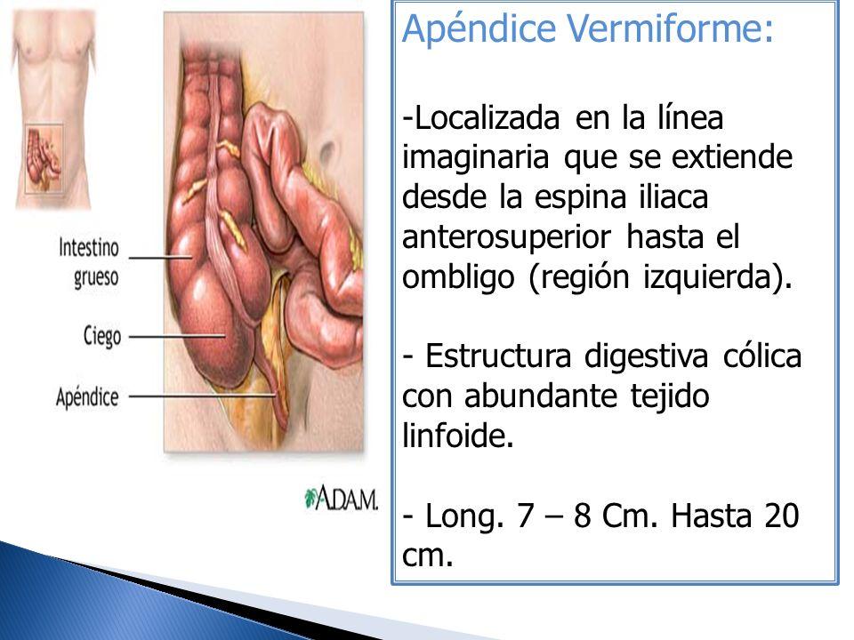 Apéndice Vermiforme: -Localizada en la línea imaginaria que se extiende desde la espina iliaca anterosuperior hasta el ombligo (región izquierda). - E