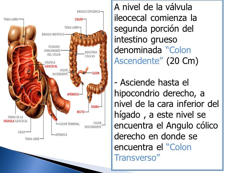 A nivel de la válvula ileocecal comienza la segunda porción del intestino grueso denominada Colon Ascendente (20 Cm) - Asciende hasta el hipocondrio d
