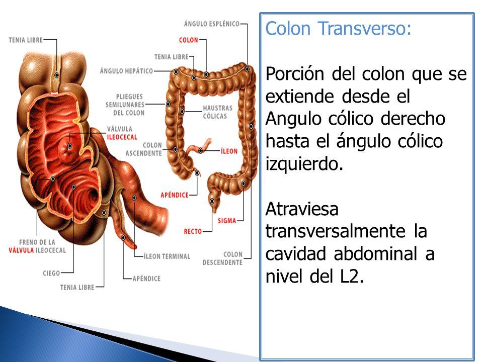 Colon Transverso: Porción del colon que se extiende desde el Angulo cólico derecho hasta el ángulo cólico izquierdo. Atraviesa transversalmente la cav