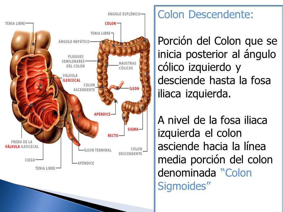Colon Descendente: Porción del Colon que se inicia posterior al ángulo cólico izquierdo y desciende hasta la fosa iliaca izquierda. A nivel de la fosa