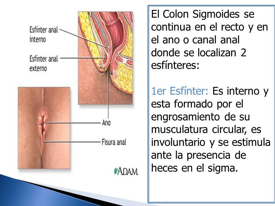 El Colon Sigmoides se continua en el recto y en el ano o canal anal donde se localizan 2 esfínteres: 1er Esfínter: Es interno y esta formado por el en