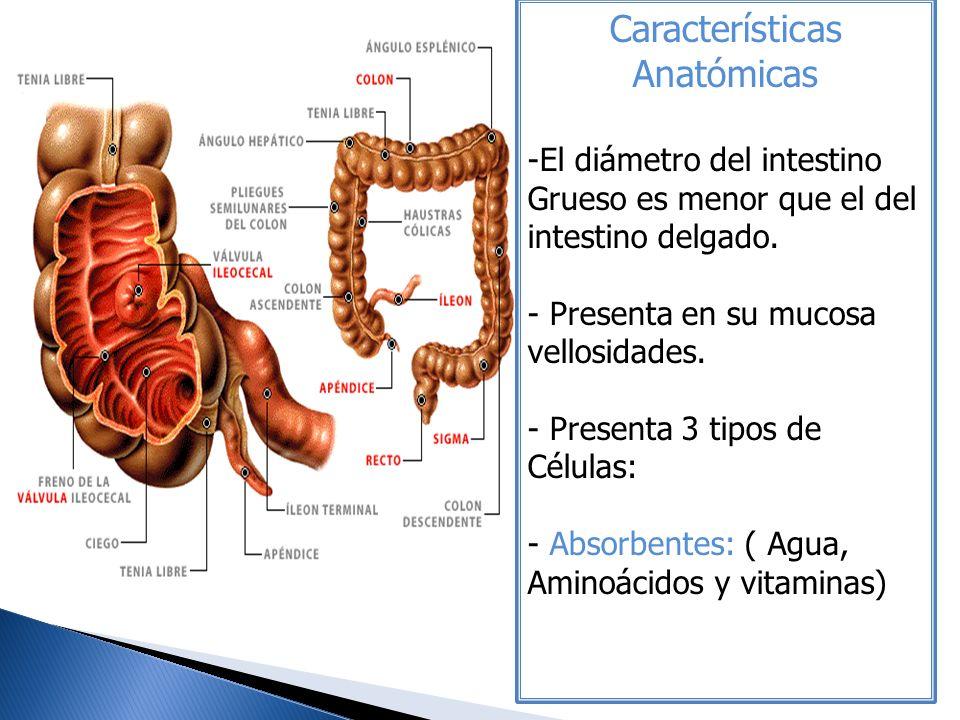 Características Anatómicas -El diámetro del intestino Grueso es menor que el del intestino delgado. - Presenta en su mucosa vellosidades. - Presenta 3